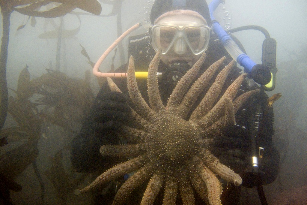 In this undated photo, provided by Scott Groth, Groth, a diver, holds a sunflower sea star in waters off the Oregon coast near Port Orford, Ore., befo...