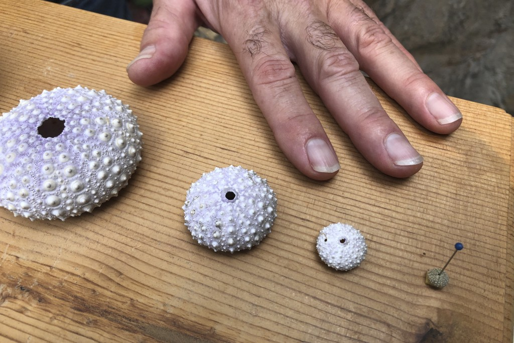 In this Oct. 16, 2019 photo, Steven Rumrill, lead shellfish expert with the Oregon Department of Fish and Wildlife, places his hand next to shells of ...