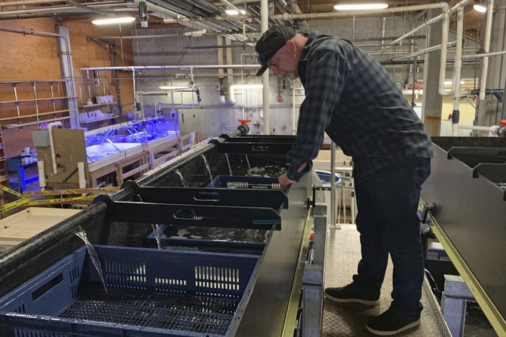 In this May 20, 2019 photo, Karl Menard checks of purple urchins that were harvested off the Mendocino County Coast and fed in troughs for several wee...