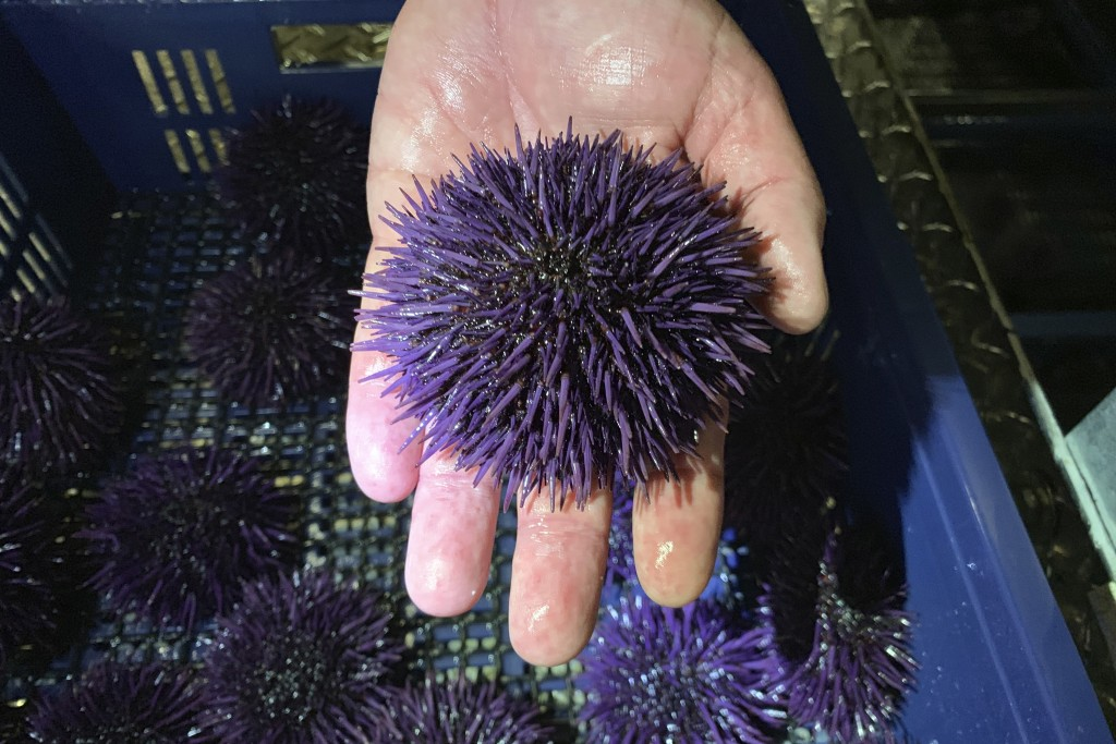 In this May 20, 2019 photo, a purple urchin is held at Bodega Marine Lab, which is running a pilot project to remove purple urchins from the ocean flo...