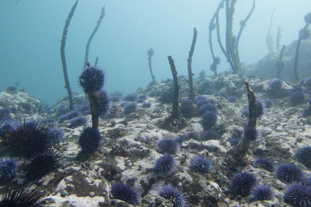 In this 2018 photo, provided by Scott Groth, a destroyed kelp forest filled with an explosion of purple sea urchins is seen off the Oregon coast near ...