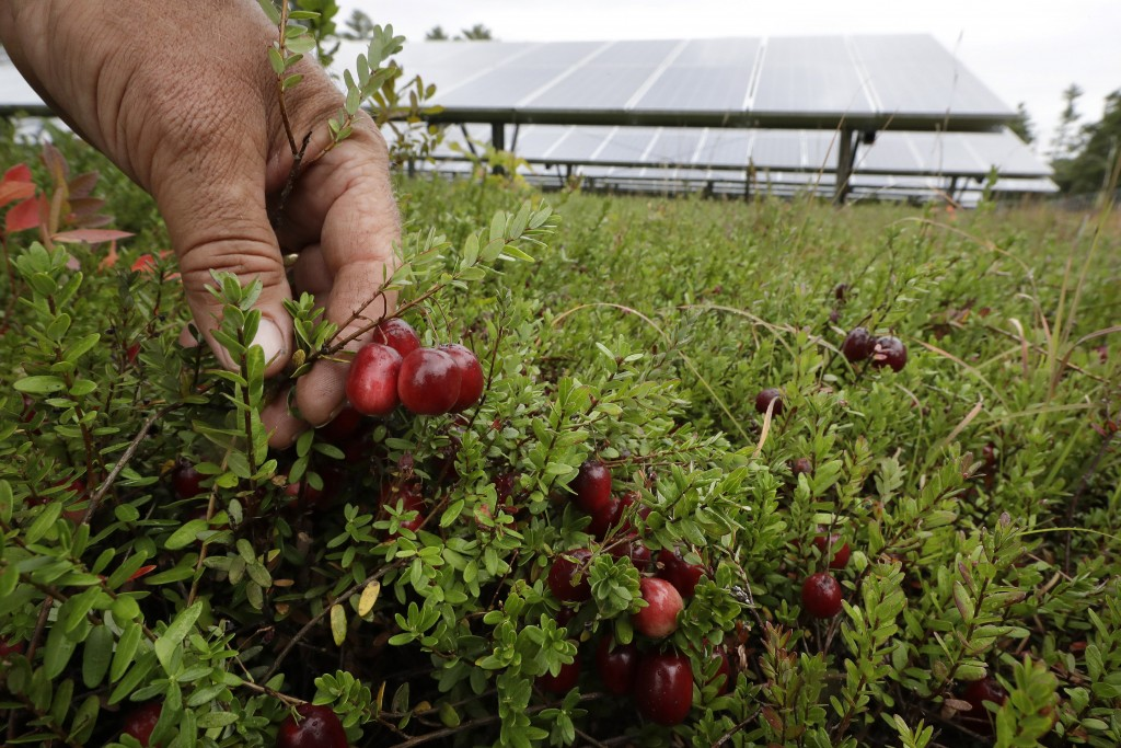 In this Wednesday, Oct. 2, 2019, photo, cranberry grower Mike Paduch holds some cranberries growing in the same bog where solar arrays are installed, ...