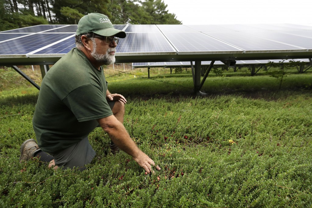 In this Wednesday, Oct. 2, 2019, photo, cranberry grower Mike Paduch pauses near solar arrays in a cranberry bog at his farm, in Carver, Mass. The rev...
