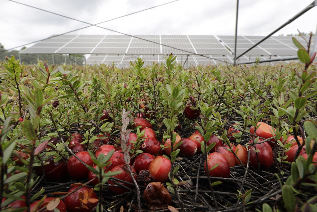 In this Wednesday, Oct. 2, 2019, photo, cranberries grow in a cranberry bog near solar arrays, behind, in Carvar, Mass. The cranberries, perennials th...
