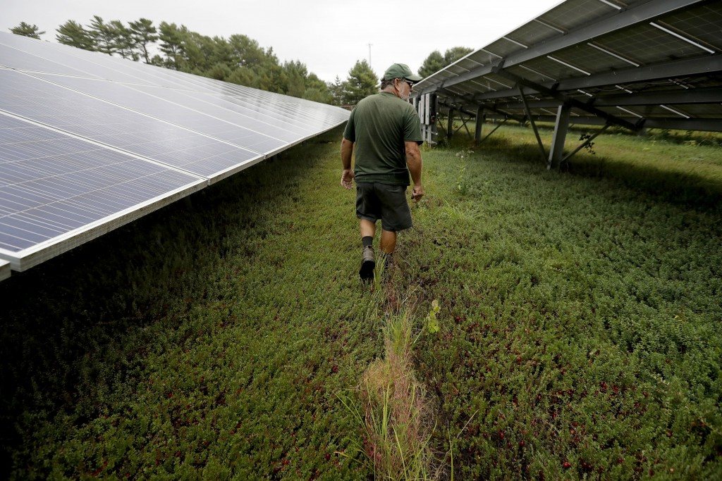 In this Wednesday, Oct. 2, 2019, photo, cranberry grower Mike Paduch walks among solar arrays in a cranberry bog at his farm, in Carver, Mass. Plummet...