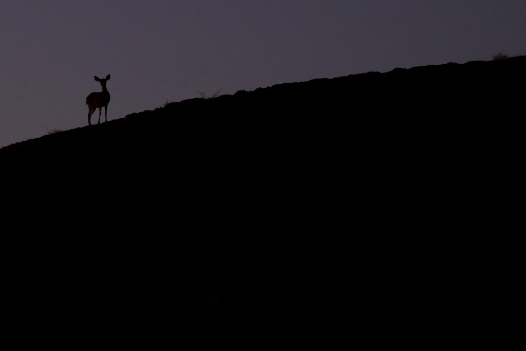 A lone deer grazes on a charred ridge in the aftermath of the Kincade Fire near Healdsburg, Calif., Wednesday, Oct. 30, 2019. (AP Photo/Charlie Riedel...