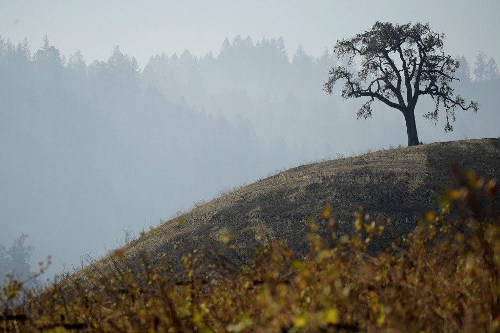 A lone tree stands on a hill charred in the Kincade Fire near Healdsburg, Calif., Thursday, Oct. 31, 2019. (AP Photo/Charlie Riedel)