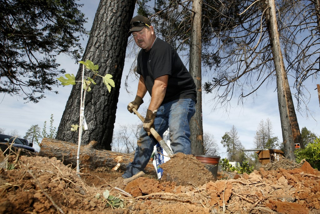 In this Thursday, Oct. 24, 2019, photo, Bill Husa plants a new tree to replace trees lost in last year's Camp Fire that destroyed his home in Paradise...