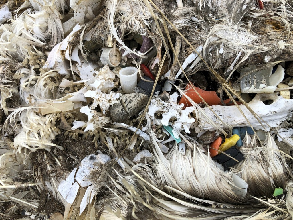 In this Oct. 22, 2019, photo, plastic sits in the decomposed carcass of a seabird on Midway Atoll in the Northwestern Hawaiian Islands. Midway is litt...