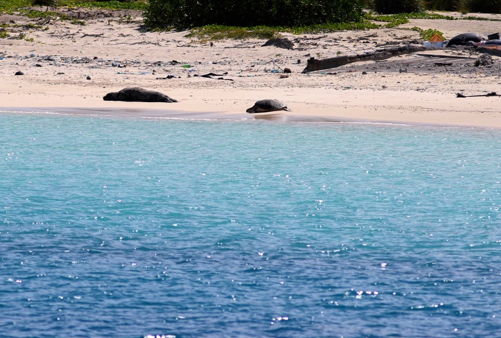 In this Oct. 15, 2019, photo, an endangered Hawaiian monk seal, left, and a green sea turtle rest on a beach on Midway Atoll in the Northwestern Hawai...
