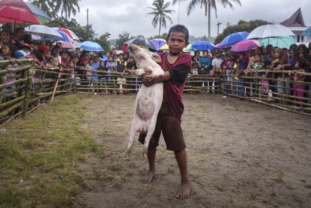 In this Saturday, Oct. 26, 2019 photo, ten years old Jomuk Nainggolan poses with a prize pig he won in a pig wrangling competition during Toba Pig and...