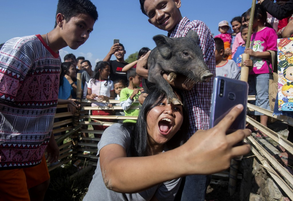 In this Friday, Oct. 25, 2019, photo, a visitor takes a selfie with a pig during Toba Pig and Pork Festival, in Muara, North Sumatra, Indonesia. Chris...