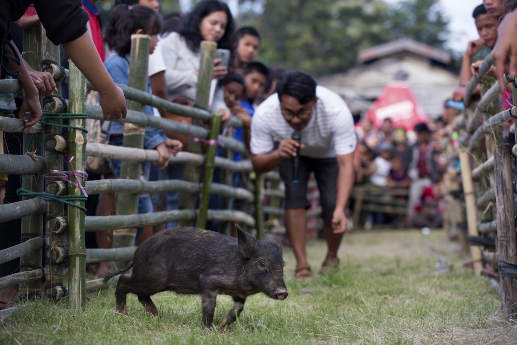 In this Friday, Oct. 25, 2019, photo, a competitor tries to attract a piglet during a pig calling competition during Toba Pig and Pork Festival, in Mu...