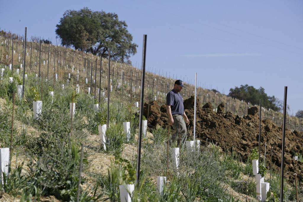 In this Wednesday, Nov. 6, 2019 photo, partner Bret Munselle of Munselle Vineyards walks down the hillside where he lost about half of the young vines...