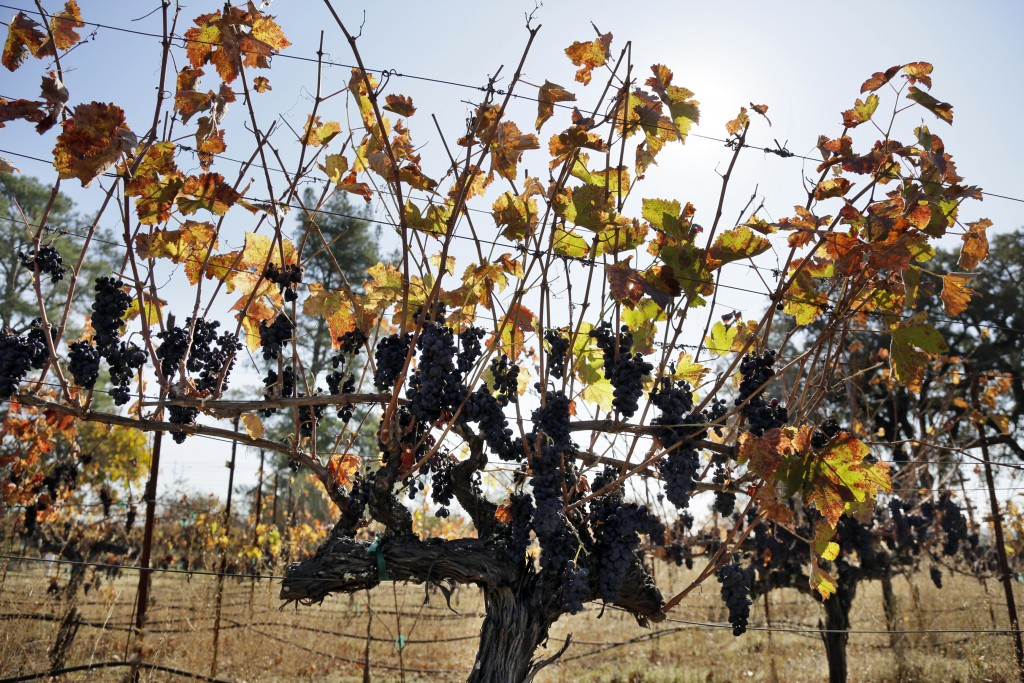 In this Wednesday, Nov. 6, 2019 photo, Cabernet Sauvignon grapes left unpicked hang in a vineyard along Highway 128 in Geyserville, Calif. If you're w...