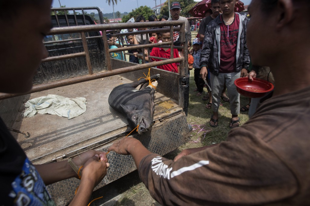 In this Friday, Oct. 25, 2019 photo, organizers prepare to slaughter a pig during Toba Pig and Pork Festival, in Muara, North Sumatra, Indonesia. Chri...
