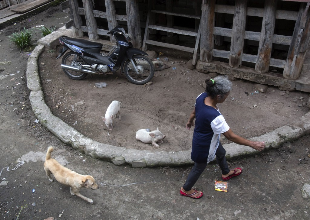 In this Saturday, Oct. 26, 2019, photo, a villager walks past piglets in front of a traditional house in Sibandang Island, during Toba Pig and Pork Fe...