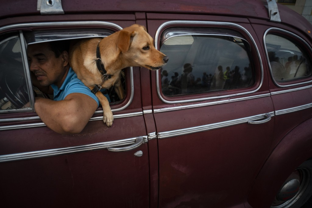 "In this Nov. 10, 2019 photo, a dog named ""Brujita,"" or Little Witch, looks out the window of a classic American classic car in Havana, Cuba. The city ..."