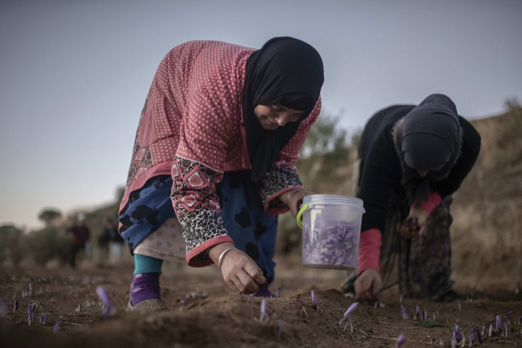 In this Tuesday, Nov. 5, 2019 photo, women pick Saffron flowers at dawn during harvest season in Askaoun, a small village near Taliouine, in Morocco's...