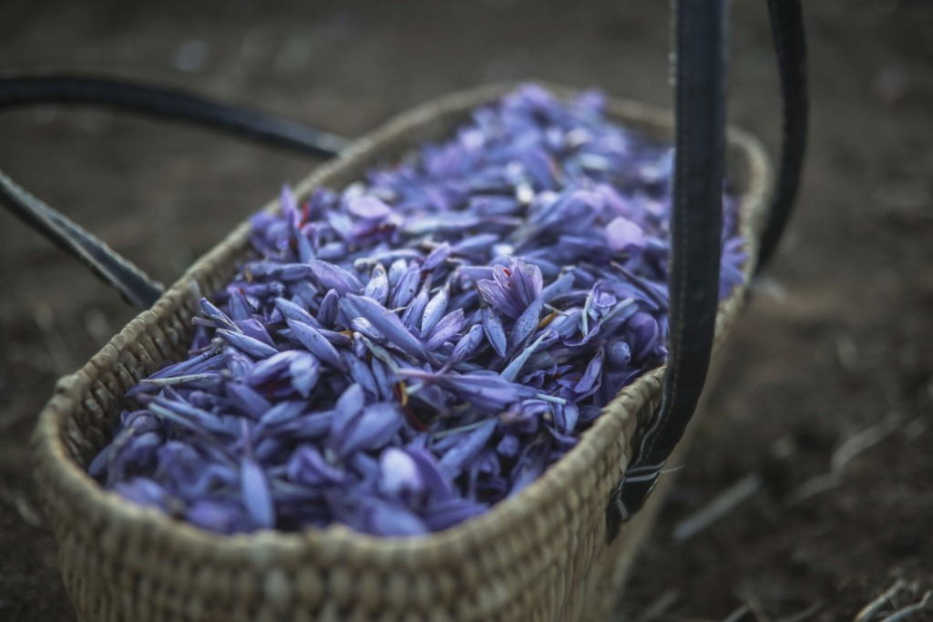 In this Tuesday, Nov. 5, 2019 photo, a basket of Saffron flowers is seen at a farm as villagers collect Saffron flowers during harvest season in Askao...