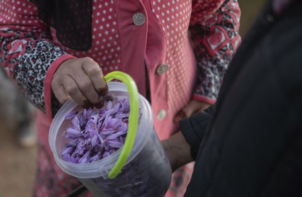 In this Tuesday, Nov. 5, 2019 photo, villagers collect Saffron flowers at dawn during harvest season in Askaoun, a small village near Taliouine, in Mo...
