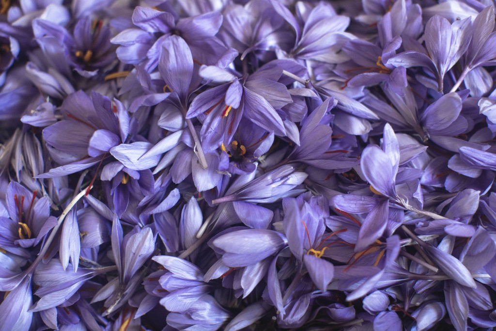 In this Tuesday, Nov. 5, 2019 photo, Saffron flowers are laid on a table before the red stigma is separated, during harvest season in Askaoun, a small...