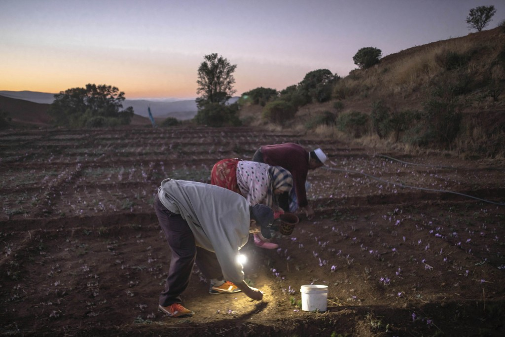 In this Tuesday, Nov. 5, 2019 photo, villagers pick Saffron flowers at dawn during harvest season in Askaoun, a small village near Taliouine, in Moroc...