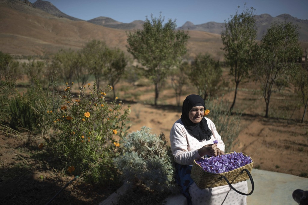 In this Tuesday, Nov. 5, 2019 photo, Fatima Aït Tahadousht, 50, displays a basket of freshly collected Saffron flowers during harvest season in Askaou...