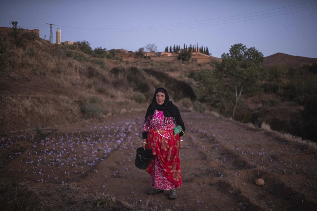 In this Tuesday, Nov. 5, 2019 photo, Biya Tamir, 60, picks Saffron flowers at dawn during harvest season in Askaoun, a small village near Taliouine, i...