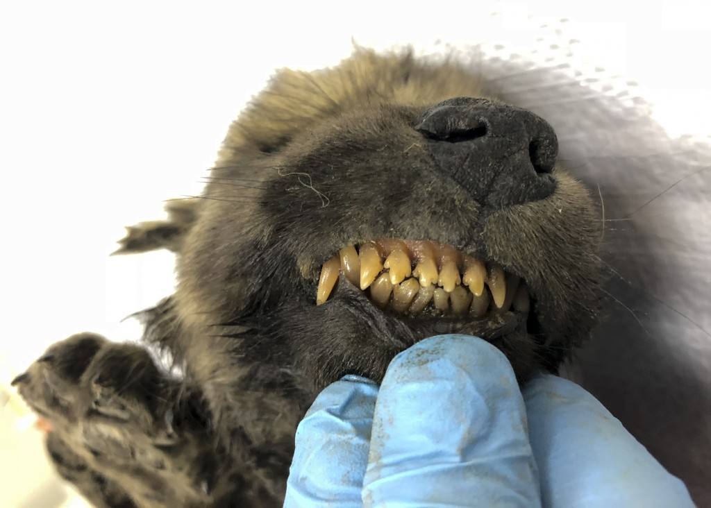 This is a handout photo taken on Monday, Sept. 24, 2018, showing a 18,000 years old Puppy found in permafrost in the Russia's Far East, on display at ...