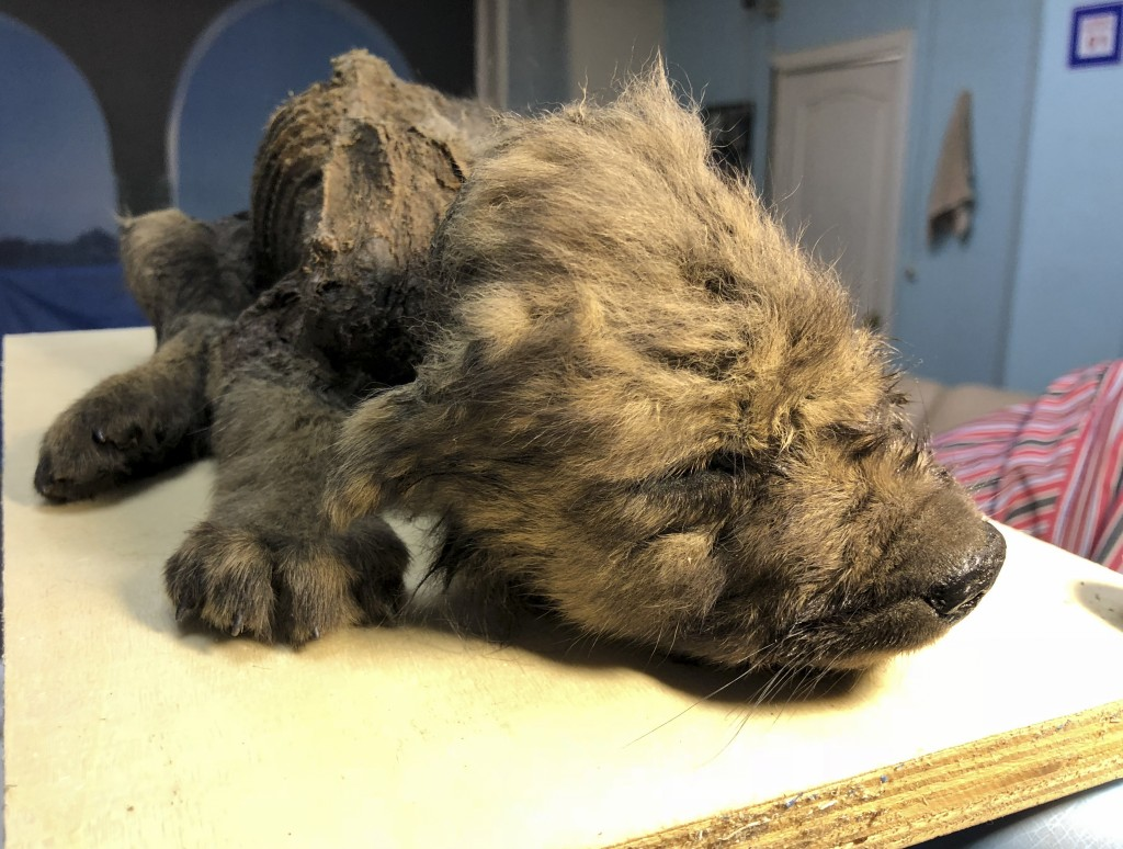 This is a handout photo taken on Monday, Sept. 24, 2018, showing a 18,000 years old Puppy found in permafrost in the Russia's Far East, on display  at...