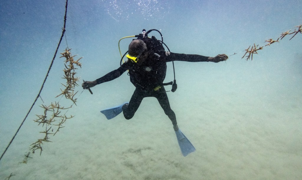 Diver Everton Simpson reaches to tie lines of staghorn coral growing at a coral nursery inside the White River Fish Sanctuary Monday, Feb. 11, 2019, i...
