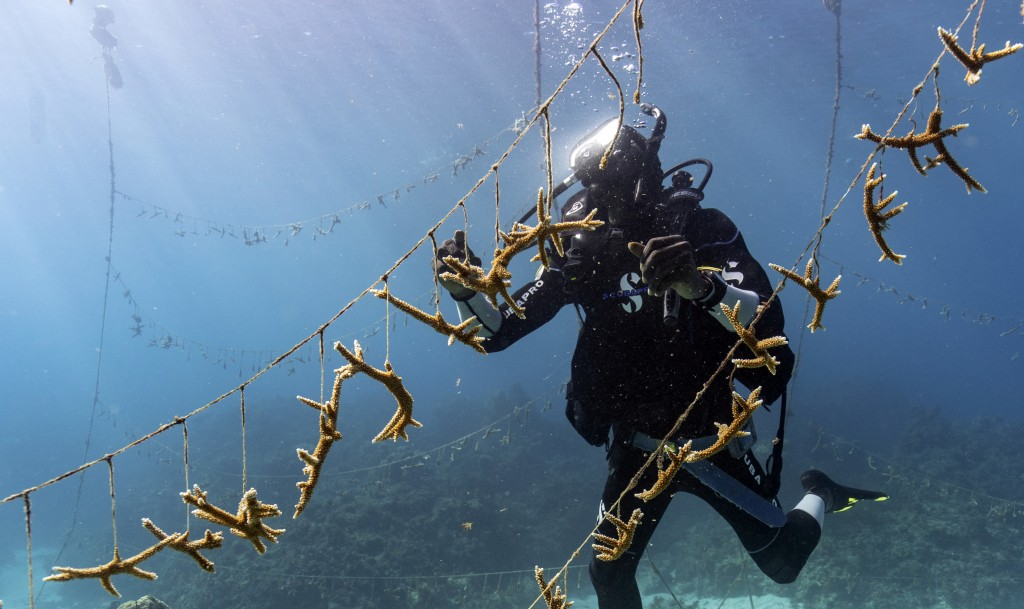 Diver Lenford DaCosta cleans up lines of staghorn coral at a nursery inside the Oracabessa Fish Sanctuary Tuesday, Feb. 12, 2019, in Oracabessa, Jamai...
