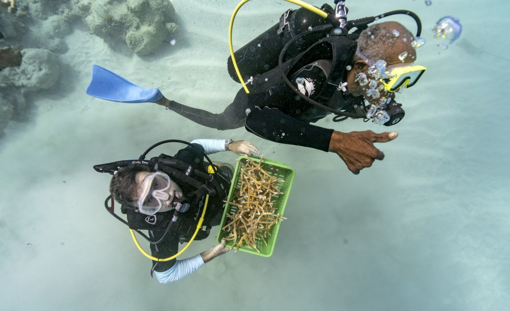 Divers Everton Simpson, right, and Andrew Todd bring staghorn coral from a coral nursery to be planted inside the White River Fish Sanctuary Tuesday, ...