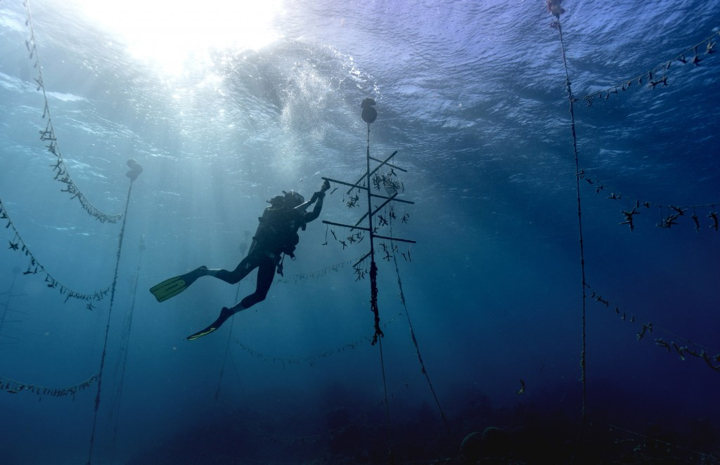 Diver Lenford DaCosta cleans up lines of staghorn coral at an underwater coral nursery inside the Oracabessa Fish Sanctuary, Tuesday, Feb. 12, 2019, i...