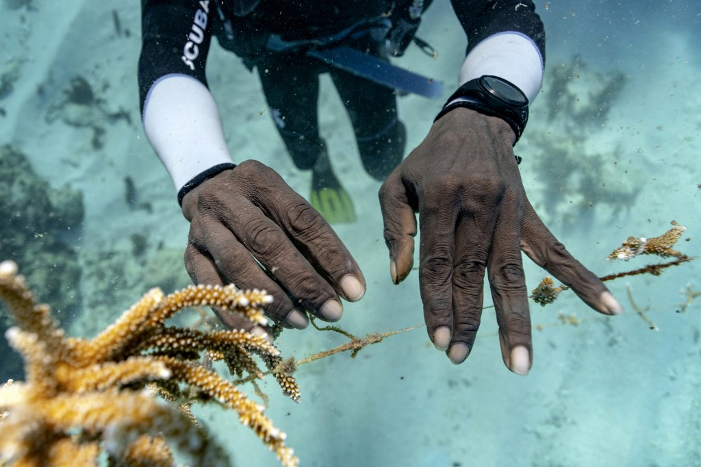 Diver Lenford DaCosta tends to lines of staghorn coral growing at an underwater nursery inside the Oracabessa Fish Sanctuary Tuesday, Feb. 12, 2019, i...
