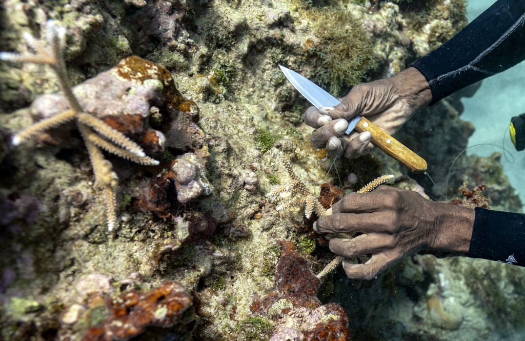 Diver Everton Simpson plants staghorn harvested from a coral nursery inside the the White River Fish Sanctuary Tuesday, Feb. 12, 2019, in Ocho Rios, J...