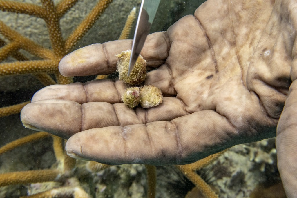 Diver Everton Simpson removes snails from staghorn coral planted inside the White River Fish Sanctuary Monday, Feb. 11, 2019, in Ocho Rios, Jamaica. T...