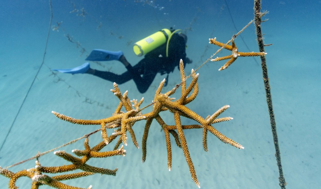 Staghorn coral grows on lines at a coral nursery inside the White River Fish Sanctuary Monday, Feb. 11, 2019, in Ocho Rios, Jamaica. Just 2 percent of...