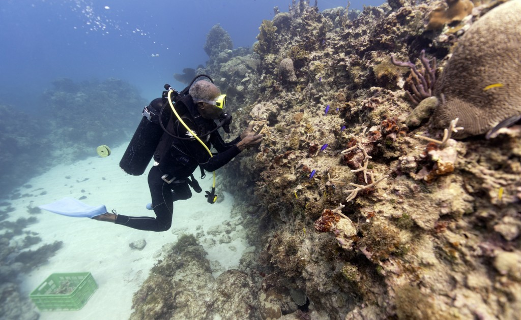 Diver Everton Simpson plants staghorn coral harvested from a coral nursery inside the the White River Fish Sanctuary Tuesday, Feb. 12, 2019, in Ocho R...