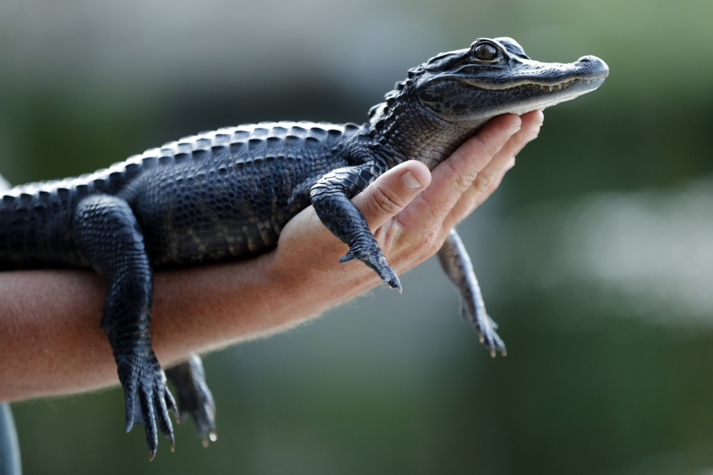 FILE - In this Tuesday, Oct. 22, 2019 file photo, a two-year-old alligator is held by a tourist at an airboat ride tour company on the Tamiami Trail j...