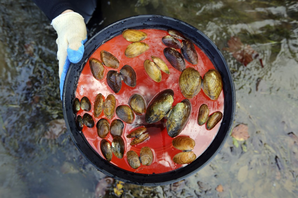 In this Oct. 17, 2019, photo provided by the U.S. Fish and Wildlife Service, recently dead freshwater mussels are displayed from the Clinch River near...