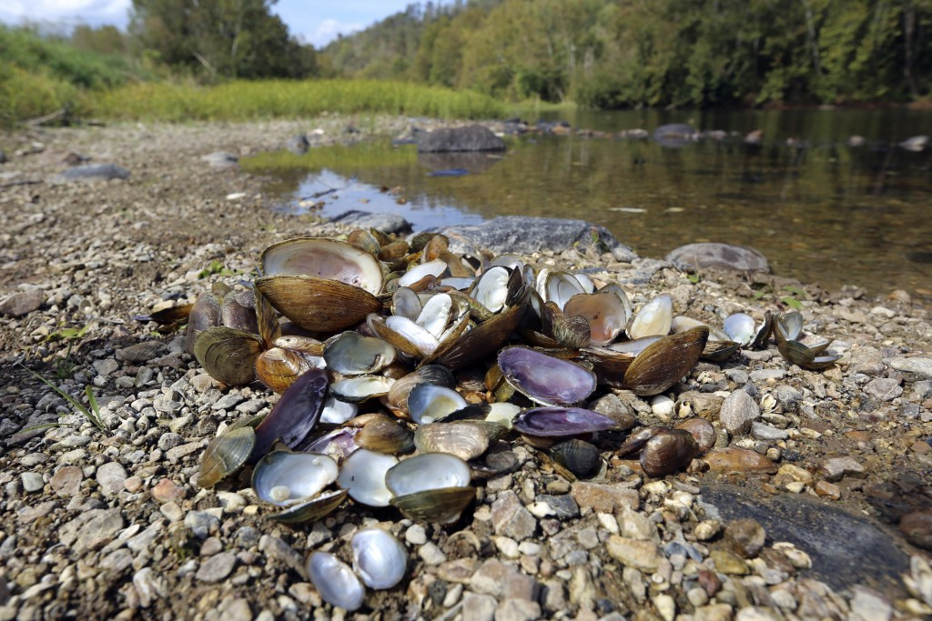 In this Oct. 17, 2019, photo provided by the U.S. Fish and Wildlife Service, a pile of recently dead freshwater mussels are piled along the shore of t...
