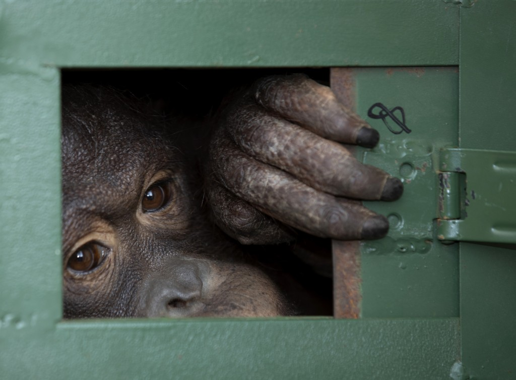 In this Friday, Dec. 20, 2019, file photo, Cola, 10-year-old female orangutan waits in a cage to be sent back to Indonesia at a Suvarnabhumi Airport i...