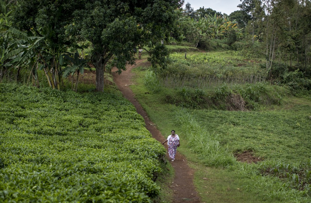 In this photo taken Tuesday, Nov. 5, 2019, palliative care nurse Madeleine Mukantagara, 56, walks on a dirt path past tea and other crops to the house...