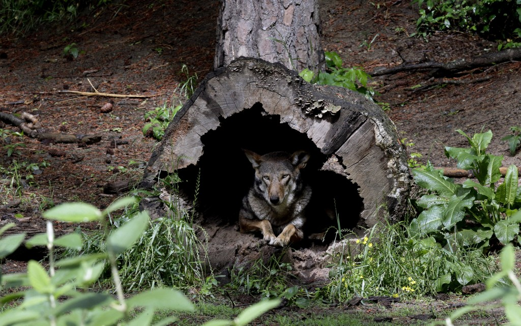 FILE - In this May 13, 2019 file photo, a female red wolf peers from within a tree trunk in its habitat at the Museum of Life and Science in Durham, N...