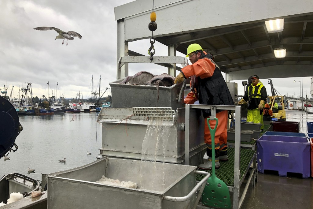 In this Dec. 11, 2019 photo, a worker prepares to dump a bucket of fish onto a conveyor belt for sorting after the fish were unloaded from a bottom tr...