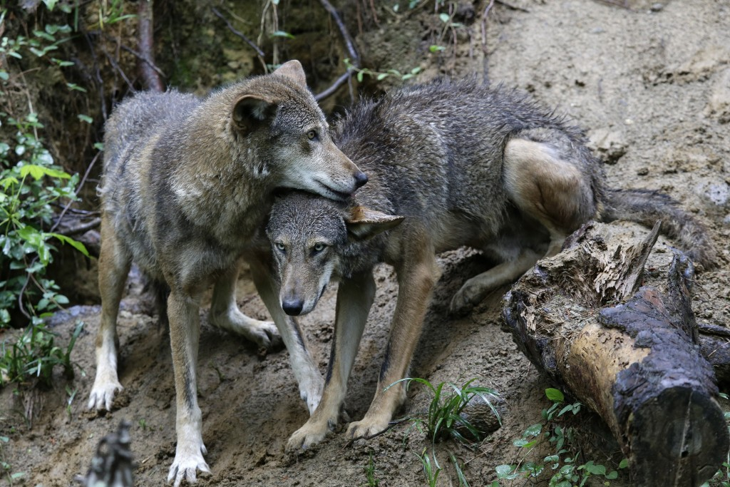 FILE - In a Monday, May 13, 2019 file photo, a pair of red wolves huddle at the Museum of Life and Science in Durham, N.C. Wildlife advocates have ret...