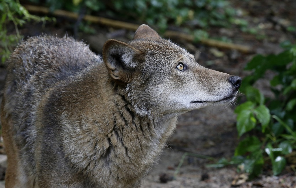 FILE - In a Monday, May 13, 2019 file photo, a red wolf roams its habitat at the Museum of Life and Science in Durham, N.C. Wildlife advocates have re...