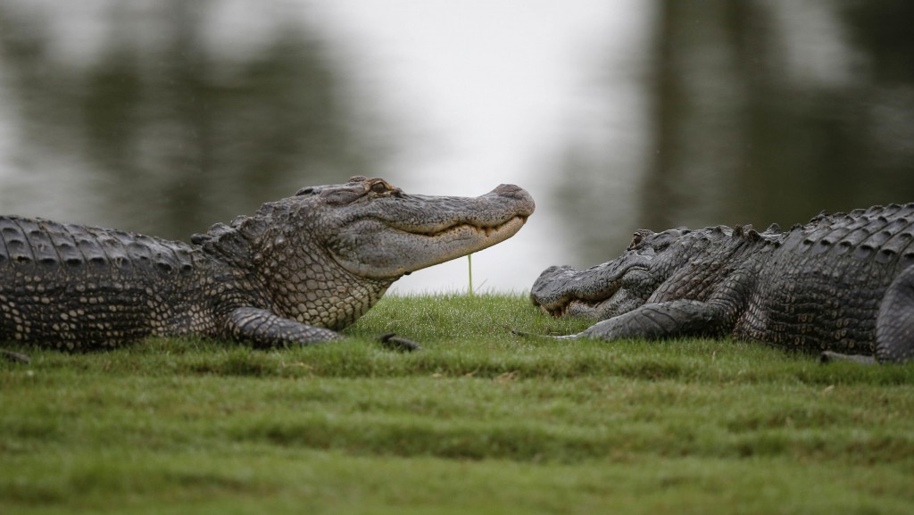 FILE - In this Monday, May 2, 2016 file photo, Two alligators lounge on the end of the 16th green during the final round of the PGA Zurich Classic gol...